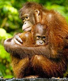 Orangutan_march